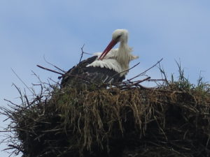 Stork i rede i Bergenhusen