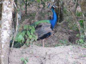 Påfugl i Wilpattu National Park
