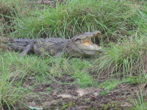 Crocodile in Wilpattu National Park