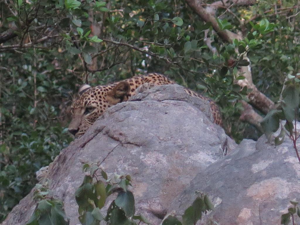 Leopard i Wilpattu National Park