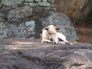 Dog's life on Sigiriya (Lion Rock)