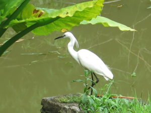 Heron in Botanical Garden in Kandy