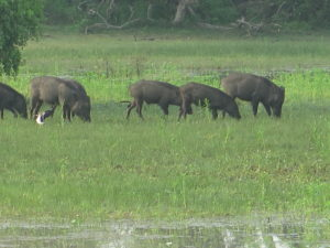 Wild-boar. Safari Yala National Park Sri Lanka