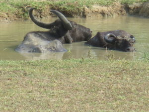 Water buffaloes. Safari Yala National Park Sri Lanka