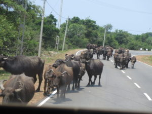 Water buffaloes on the road