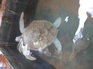 Albino skildpadde fra Sri Lanka - Tsunamien 2004 og skildpaddefarm
