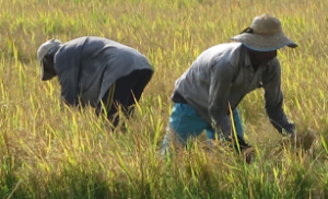 Being busy in the rice fields close to Sigiriya (Lion Rock)
