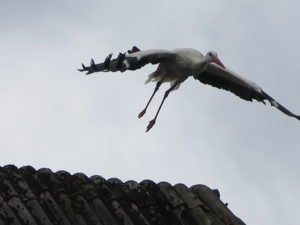 Stork på vej til at flyve efter føde. Rejsetips fra Tyskland