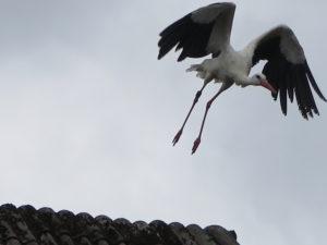 Stork på vej til at flyve efter føde