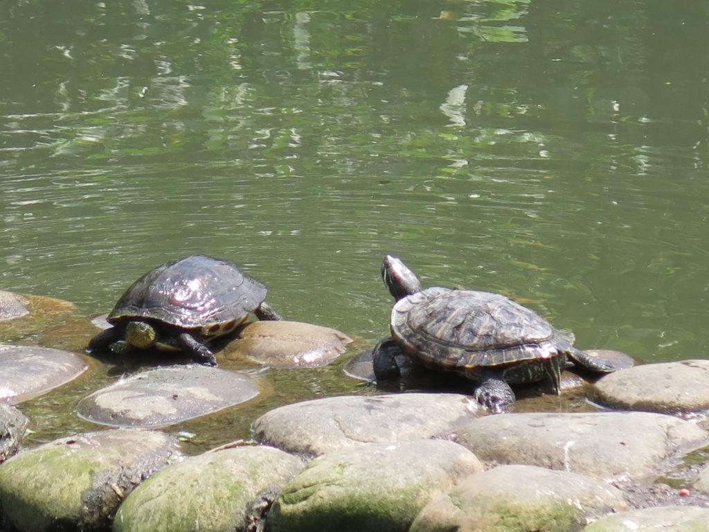 Skildpadder i parken