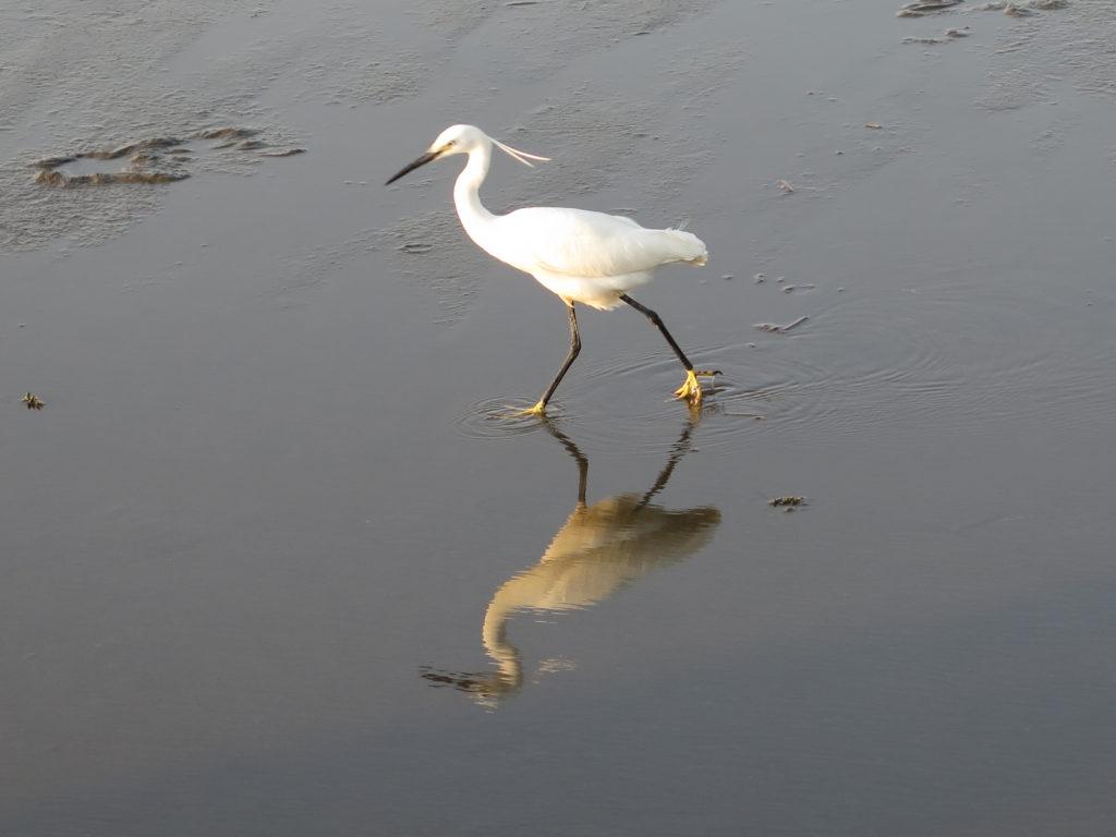 Fugleliv i Gaomei Wetlands. Yingge og Longteng samt Gaomei Wetlands