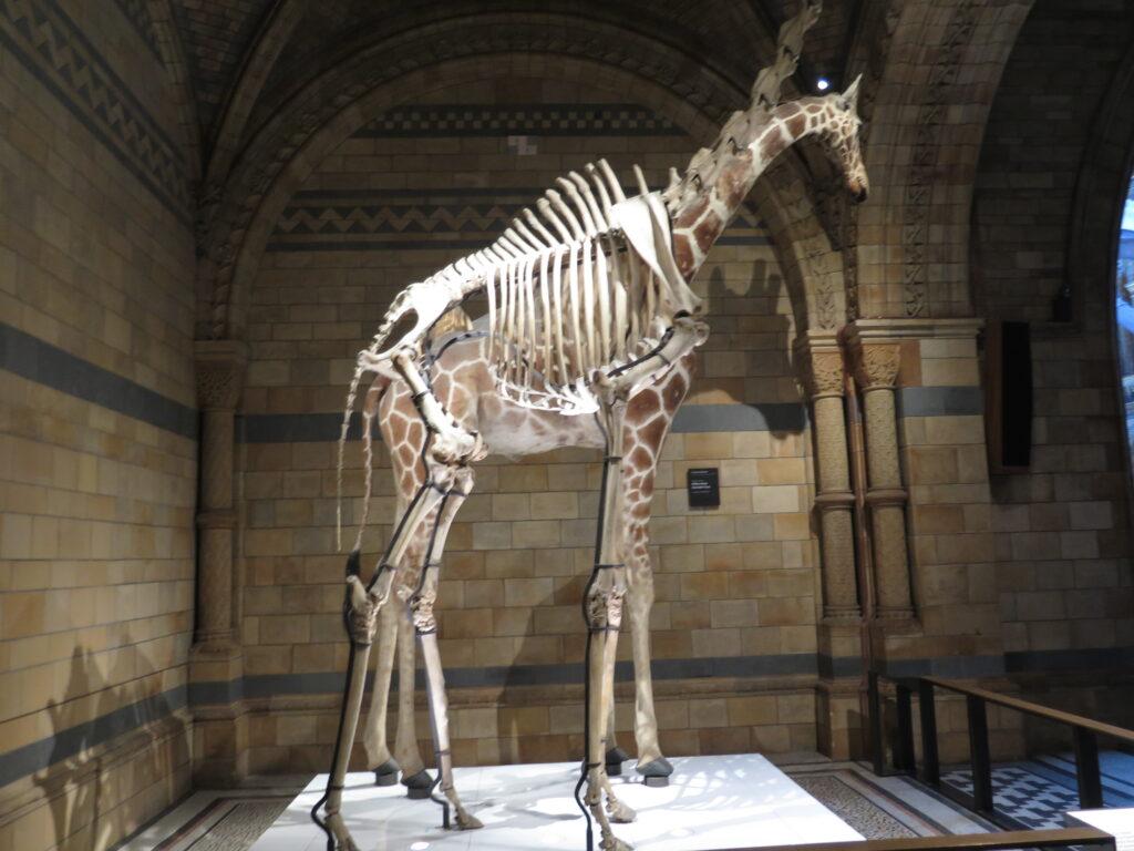 Skelet af en giraf