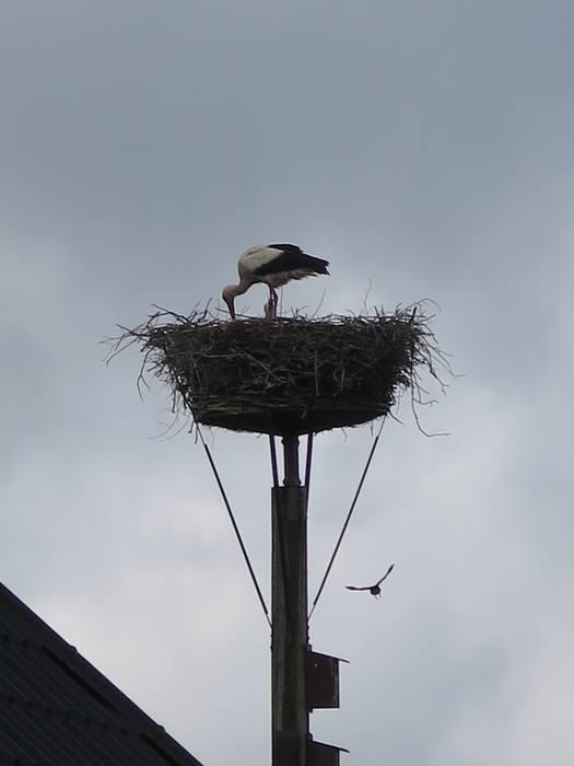Stork i reden og stork på vej
