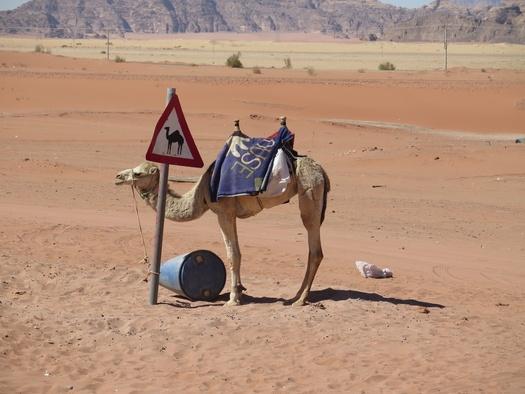Kamel ved vejskilt