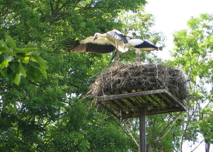 Storke lærer at flyve