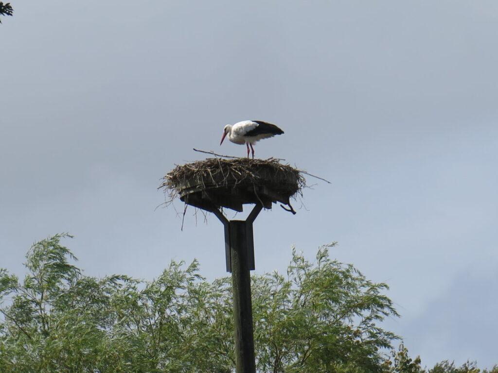 Storkerede på Föhr