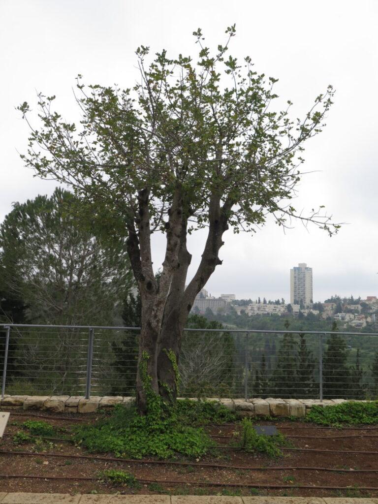 Træ for den danske modstandsbevægelse på Holocaustmuseet Yad Vashem i Jerusalem