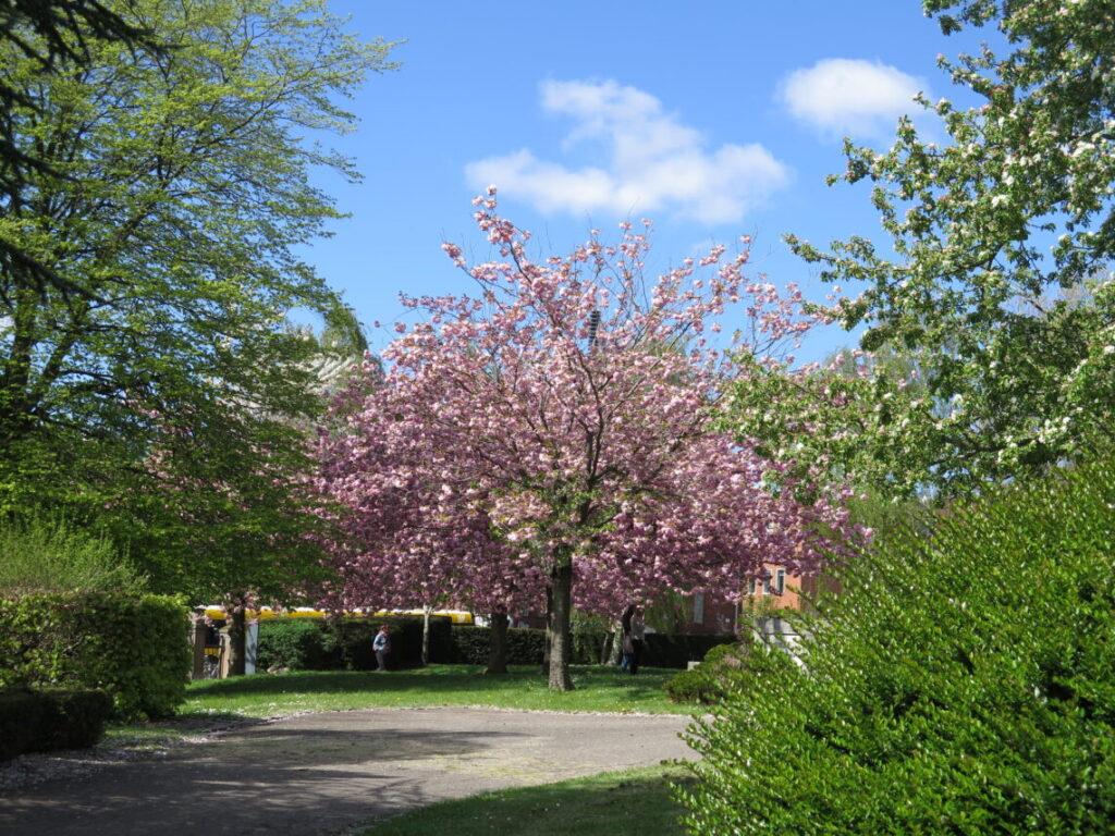 Træ i blomst