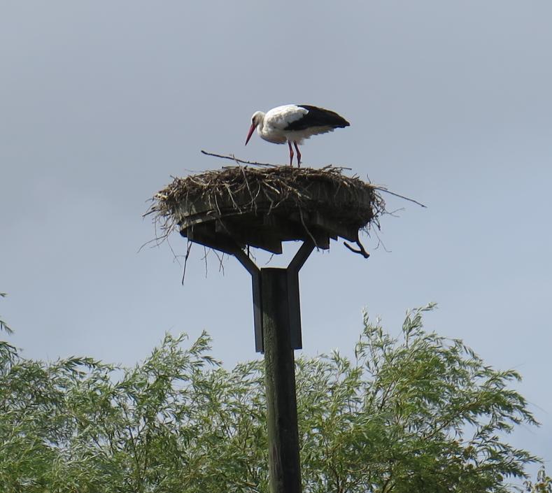 Stork på Föhr